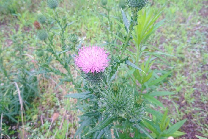 学名:Cirsium vulgare 科名:キク科 分類:多年草 花期:5~9月 紫がかったピンク色の花が可愛らしいアザミの仲間です。花はノアザミによく似ていますが、ノアザミと違って葉にトゲがあります。素手で触れると肌を傷つけることがあるので注意しましょう。道端や公園、野原、駐車場の脇など身近な場所で見かけます。 外来種で繁殖力が強く、要注意外来生物にも指定されています。タンポポの綿毛のような種子で広範囲に広がります。自宅のお庭で見かけたら、必要の無い場合は早めに駆除しましょう。