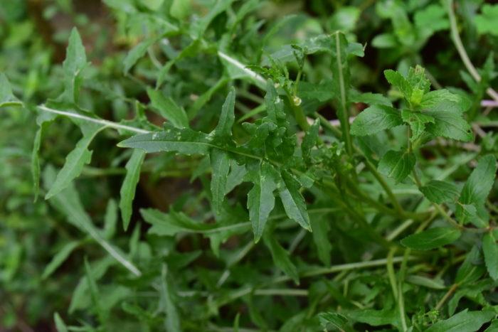 ルッコラ同様、ゴマの風味がするハーブはもうひとつ、セルバチコというハーブがあります。ルッコラとセルバチコの違いと言えば、葉の形、花などの見た目の他、大きく違うのがルッコラは一年草、セルバチコは多年草です。
