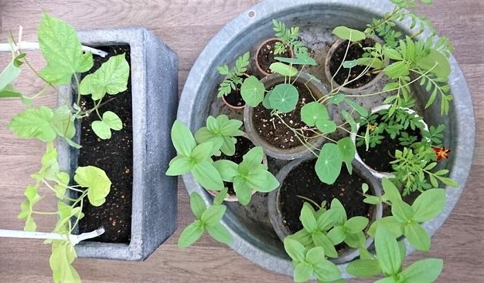 これは、種蒔きして育った苗(朝顔、マリーゴールド、ジニア、ナスタチウム)です。