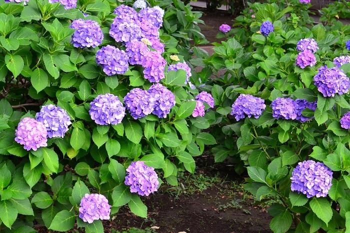 植え付けて10年以上たっているアジサイ。長い年月が過ぎると、花の後の剪定を間違えなければ、たくさんの花が開花するようになります。  きちんと手入れをした上で咲かなかった2年目のアジサイは、根や葉、茎を生長するためのお休みと思ってみてください。自然のスピードはゆっくりでじれったい時もありますが、毎日手入れをした花が久しぶりに咲いた時の喜びは格別です。それがガーデングの奥深さなのかもしれませんね。