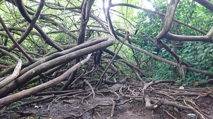 旅行ですかね。これはハワイで撮ったタコの木です。ハワイではプルメリアやブーゲンビリアの花も見事でした。旅先でも結局植物に目が行ってしまいます(笑)。植物との良い出会いがあったりするとそれが一番の思い出になったりもするので、やっぱり植物が好きなんだなって思います。旅先で植物園に行く時もありますが、旅先の街路樹を見ているだけでも十分楽しいです。地域が違うと育っている植物も全然違うので、旅先の街路樹を見るのはとっても新鮮なんです。