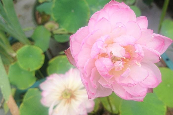 蓮の花言葉は「清らかな心」「神聖」です。  泥の中から出てきて、清らかな美しい花を咲かせる、蓮の花らしい花言葉です。