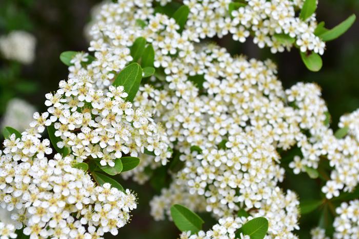 5~6頃に真っ白な花をたわわに咲かせます。風に吹かれて飛んでいく花びらも粉雪のようで美しい花です。