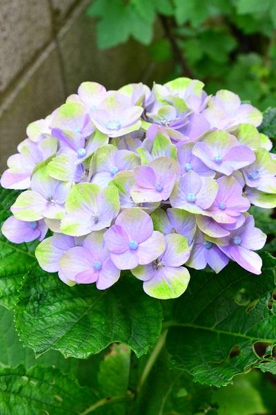 こちらのアジサイの鉢植えを購入したのは、最初の2つの事例のアジサイと一緒の2017年。このアジサイも秋色系のアジサイです。(残念ながら品種名は不明)  2017年の花が終わった後に剪定をし、落葉期に地面に植え付けをしました。