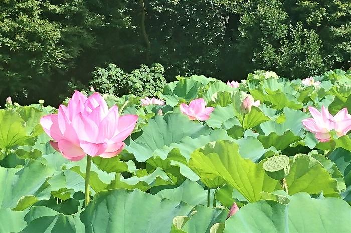 蓮の花の香り 蓮の花のエッセンシャルオイル、蓮の花の香水、蓮の花のお香など、蓮の花の香りがモチーフとされた商品はたくさんありますが、実際の蓮の花の香りってどんな香りなのでしょう。  蓮は池に咲く多年生水生植物です。蓮の花の香りを楽しもうと思ったら、勇気を出して蓮池の中に入って行かなければなりません。蓮の花の香りを確認するのは難しそうですね。  蓮池の縁に立って花を眺めていると、ふわりと優しい香りが鼻先をかすめることがあります。チャワンバスのような小型種の蓮の花に顔を近づけると、はっきりと爽やかな芳香が確認出来ます。蓮池で蓮の花の香りを楽しむのはちょっと難しいようですが、蓮の花には間違いなく芳香があります。  触れられないところに咲く花が、確認できない香りを纏って(まとって)いるというのも、蓮の花らしい神秘的な魅力の一つです。  蓮の花の咲く音って? 「蓮の花は咲くときにポンっという音がする」という話を聞いたことはありませんか。花が開くときに音がするなんて、気になりますよね。  子供の頃、蓮の花が開く音を聞きたくて、まだ暗いうちから蓮池で待機したことがあります。残念ながら音は聞こえませんでした。この蓮の花が開く時に音がするという話は嘘だと言われています。カエルか何かが池に飛び込む音だったのではないか、という説もあります。  あれだけ魅力的な蓮の花ですから、音くらいしたって何も不思議はありませんよね。
