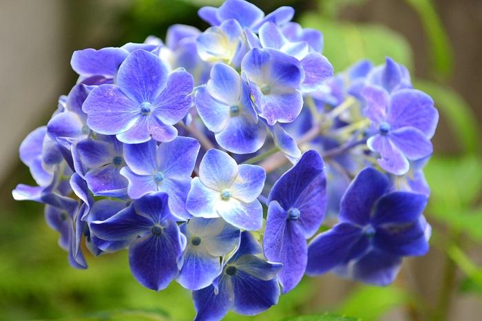 アジサイが咲かない原因で一番多い原因は「剪定時期」と「剪定位置」です。  アジサイは、桜のように「花が散る」ということがないので、剪定しなければいつまでも花がついている植物です。  また、アジサイの花は、旧枝咲きと表現されるのですが、今年伸びた枝の下に位置する、昨年伸びた枝の付け根に秋に花芽をつけます。そのため、今年伸びた枝に2年越しで花が咲くという流れになります。  6月に開花したアジサイは、翌年の花芽ができる秋より前の7月中に剪定することが来年の花のために必要な作業となります。  例えば剪定を秋以降にしてしまったり、剪定する位置を深く切ってしまうと、来年の花芽を切ってしまうことになり、翌年の開花はないことになります。