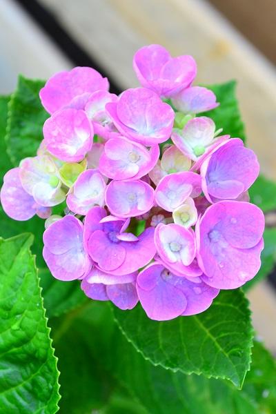 鉢植えのアジサイは、人間の手によって肥料を追肥してやらないと開花に必要な養分が足りない場合があります。昨年、植え替えたのなら、培養土に肥料分はあるので問題がありませんが、数年経過した鉢植えで追肥をしていないと、肥料分が足りていないことが原因で花が咲かない場合があります。  また、肥料で咲かないもうひとつの原因は「観葉植物の肥料」を間違えて施してしまった場合は咲かないことがあります。理由は観葉植物の肥料は、葉の生長に必要な窒素分の配合が多いためです。  あじさいの肥料は、必ず花用の肥料を施しましょう。  最近は「青色のアジサイのための肥料」や「赤色(ピンク)のアジサイのための肥料」などの色別のアジサイ専門の肥料も販売されています。