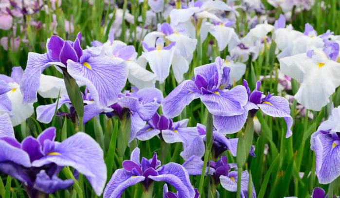 5月は皐月(さつき)です。稲代(発芽からある程度育つ状態にするまでの稲を置いておくところ)から田んぼに苗を植え付けるときの苗を「早苗」といい、その作業をする時期として「早苗月(さなえつき)」。それが短縮し、「さつき」になったという説や、稲を田んぼへ植え付けることを「さ」と呼んだことから「さ」月となった、などです。  別名・建午月(けんごげつ)、仲夏(ちゅうか)、盛夏(せいか)、茂林(もりん)