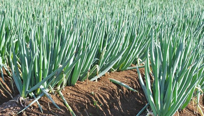 発生時期は6~7月及び10月です。 低温で降雨が続き、肥料不足で生育が悪いと多発します。春から秋にかけて、葉に紡錘形や楕円形の、少し盛り上がった橙黄色の斑点が発生します。斑点が破れて出てくる胞子の発生温度は9~10℃で、夏期に低温多雨の年に多発します。24℃以上になると発生が少なくなります。駆除するために農薬を使用する際は、発生初期から炭酸水素カリウム水和剤に必ず展着剤(てんちゃくざい)を加えて散布します。