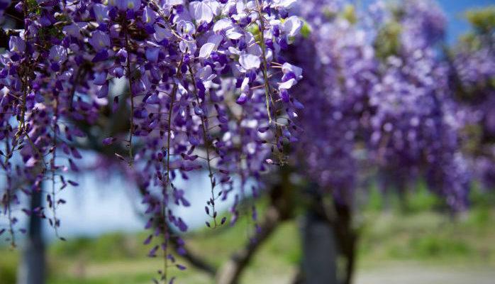 4月は卯月です。ここから夏となります。卯月の卯は、卯の花のことです。卯の花はウツギの別称で、白い花を咲かせる可憐な木です。  また、おからのことを「卯の花」と呼びます。これは、ウツギの白い可憐な花がおからに似ているから、という説と、おからは豆腐の搾りかすなので、「お」「空」と書くことがあったそうです。ウツギも漢字で「空木」と書くのですが、こちらは茎に空洞が開いているためです。「お空」と「空木」から連想されて、「卯の花」と呼ぶようになったのでしょうか。  また、二十四節気のひとつに「清明(せいめい)」という節気があります。毎年だいたい新暦4月5日ごろです。清明とは、「清浄明潔」という言葉から来ていて、このタイミングは自然の気が最も盛んになるということを表現しています。  別名・建巳月(けんしげつ)、初夏(しょか)、首夏(しゅか)、乾梅(けんばい)
