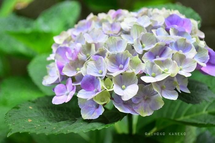 2019年の花の数は8つ。だいぶ増えてきました。鉢植えのアジサイと違って3年目になると、花数は少ないものの花のサイズは買った年と同じくらいの大輪になりました。