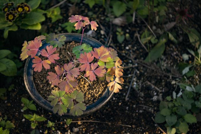 秋になり気温が下がってくるとオダマキの葉が紅葉しだします。最初は黄色に染まり、徐々に赤く染まっていく様子は非常に美しいです。