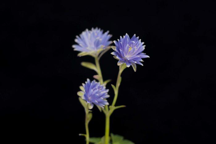 菊咲きミヤマオダマキ  ミヤマオダマキの花びらが多弁化したものです。花色はオダマキですが、見た目は完全にキク科の花のように見えます。性質は強健で、普通のミヤマオダマキと同じ育て方で問題ありません。