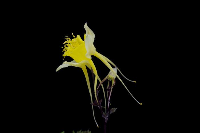 キバナノオナガオダマキ  アメリカ南西部の高山帯に自生している原種オダマキです。黄色い花弁と長い尾、天を仰ぐような花の向きが何ともカッコいいオダマキです。つぼみの段階もロケットの様でカッコよく、少年心をくすぐられます。