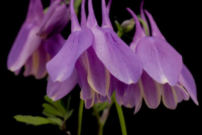 ルリオダマキ(ピコティ)  花弁がクリーム色の覆輪(ピコティ)になっているルリオダマキです。ミヤマオダマキには無い独特な赤紫色が非常に美しく、覆輪の入り方も良いです。偶然発生したものですが、自家受粉したため実生と栄養繁殖による固定化を目指しています。ルリオダマキとミヤマオダマキを見分けるポイントは距が伸びているか丸まっているかです。前者がルリオダマキで、後者がミヤマオダマキになります。