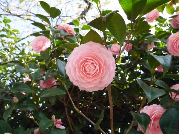 椿(ツバキ)も山茶花(サザンカ)もツバキ科ツバキ属の樹木。とてもそっくりな姿に、これはどっちの花だろうと迷った方も多いはずです。