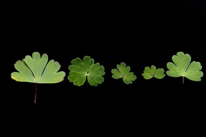 オダマキ/徳舜瞥ミヤマオダマキ/八甲田ミヤマオダマキ/早池峰ミヤマオダマキ/白花ミヤマオダマキ  オダマキとミヤマオダマキの見分け方については葉の形を見るのが有効かと思います。オダマキの葉が2~3分裂するのに対し、ミヤマオダマキは3全裂するそうです。(参考文献:大橋広好・ほか編(2008)『新牧野日本植物図鑑』北隆館, p134)  それを踏まえて画像の葉を比較してみると、オダマキは3分裂なのに対し、白花ミヤマオダマキ以外のミヤマオダマキは3全裂(葉が3枚に分かれている)になっています。また、葉の色の違いも出ています。オダマキと白花ミヤマオダマキは白いブルームがかった緑色なのに対し、ミヤマオダマキは普通に近い葉の色をしています。  このことから画像の白花ミヤマオダマキは、オダマキの白花個体である可能性が高いでしょう。
