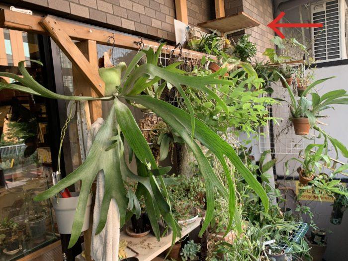 我が家のベランダで、着生植物を置いているのは上のような場所。置くというよりは着生させているものは、2×4材で作った棚に吊って育てています。  水やりはジョウロや電動スプレーで直接水をかけることもあれば、水ゴケが乾ききったものはバケツにためた水に浸けることもあります。