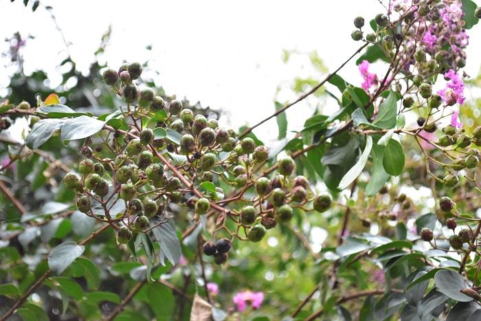 サルスベリの花の後の実