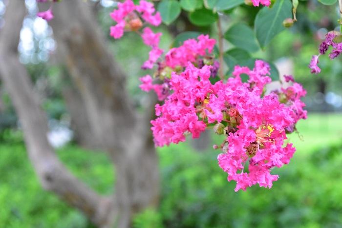 百日紅という和名の通り、夏の間の長期間開花する植物です。サルスベリは春以降に伸びた枝にその年の夏、花を咲かせる性質です。