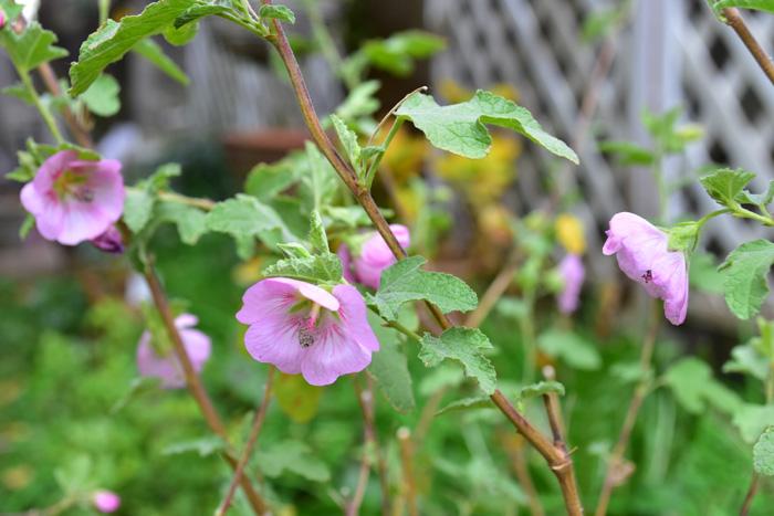 初夏から秋まで長く咲く花 アニソドンテア・マルバストロイデスは