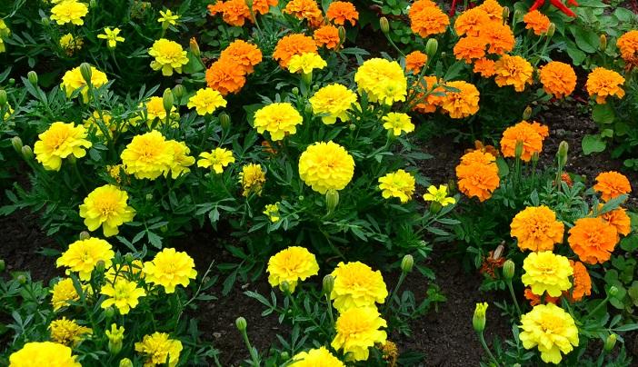 初夏から秋まで長く咲く花 マリーゴールド