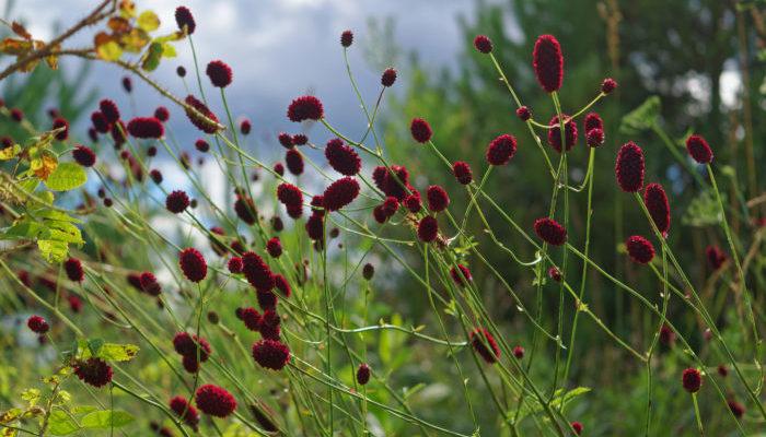 沢山に枝分かれしたその先に赤い穂をつける吾亦紅(ワレモコウ)。夏の厳しい暑さが落ち着いて、心地よい涼しさを感じられる頃に里山や草原などの日当たりの良い場所で見つけることができます。