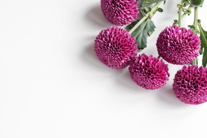 ロリポップパープル 深く色づく赤紫の色がシックな装いとなり、上品な色味で人気の品種です。