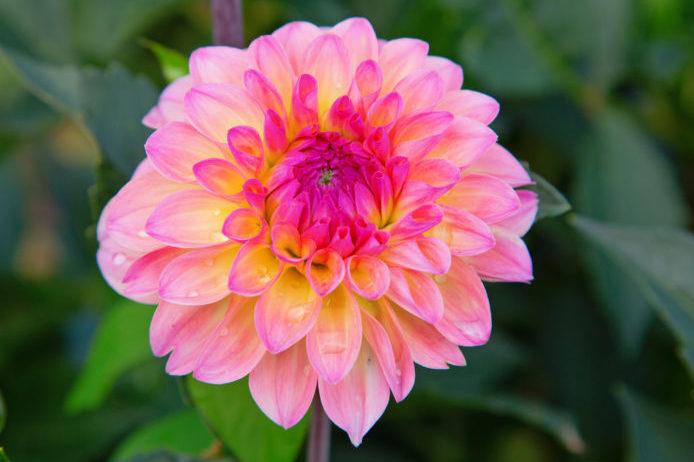 舟形の花弁が幾重にも重なった咲き方を指します。花弁が真っすぐ伸びているものをフォーマルデコラ咲き、花弁がねじれているものをインフォーマルデコラ咲きと呼びます。  かまくら、ポートライトペアビューティー、マルコムズホワイトなど