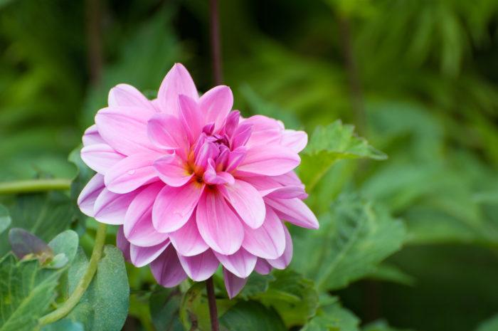 スイレン咲き 幅の広い花弁が幾重にも重なり、花弁は丸みを帯びています。睡蓮に似た花を咲かせます。  ムーンワルツなど
