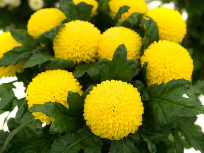 ピンポン ゴールデン 黄色のピンポンマムの代表品種。発色の良い黄色が夜空に映えるお月様を連想させ、お月見シーズンなどに人気の品種です。