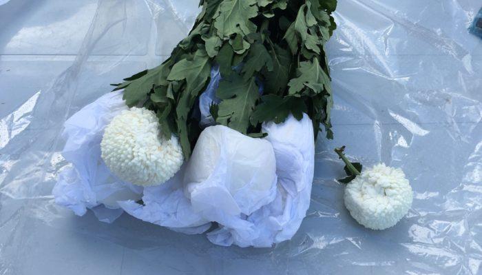 ピンポンマムは茎が固く真っすぐした丈夫な花で、花弁が短く詰まっているので他の花に比べて衝撃にも強いです。産地から花屋さんに輸送する段階で花弁がつぶれてしまい球体がへこんでしまう場合もありますが、水が上がれば元の丸い形に戻ります。へこみにも強い丈夫なピンポンマムですが、物に当たった衝撃などで花弁の先が茶色くなる場合があるので十分気を付けましょう。また、茎が真っすぐ固いので強い衝撃を受けると折れてしまうことが多いです。丈夫な花だからと雑にならないように丁寧に扱いましょう。