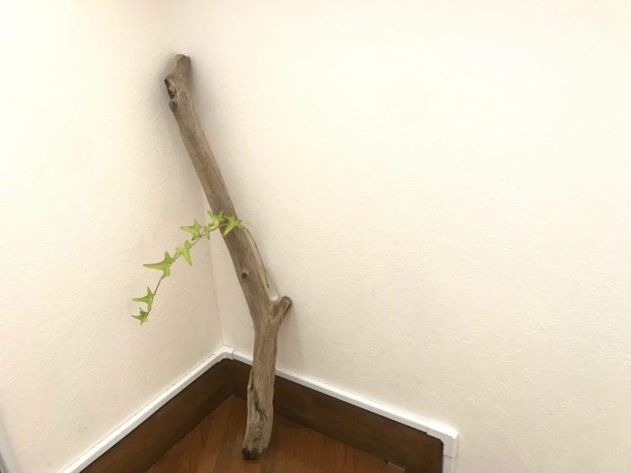 アイビーなどを生けてみると、流木の硬さとアイビーの柔らかなフォルムで空間に動を出す事ができます。