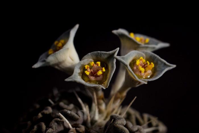 形状はユーフォルビア特有のサイアチア(杯状花序)で、この個体は青が強い鼠色をしています。