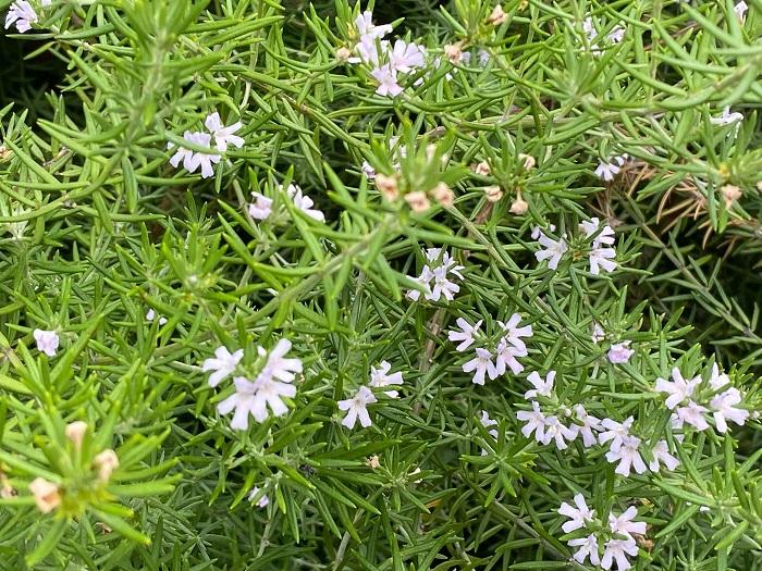 ウエストリンギアは春から初夏が一番花が多いですが、四季咲きで真夏と真冬は休みますが、日当たりが良ければ一年中花を楽しめます。