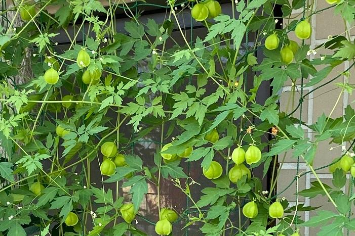 科名:ムクロジ科 分類:つる性一年草 フウセンカズラは名前の通り、小さな風船のような実をつけるつる植物です。夏の暑さに強く、よく繁茂します。葉は薄く軽やかで風を通します。