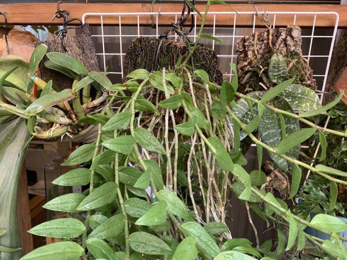 最近、着生植物が以前よりもポピュラーになってきていて、鉢に植えた植物を育てるだけでなく、板などに着生させた植物を育てている人も増えてきているような印象があります。  着生植物の中でも、ファレノプシス(コチョウラン)などをはじめとするランは、色とりどりの大きな花を咲かせるものもあり、私も好きでいくつか育てています。