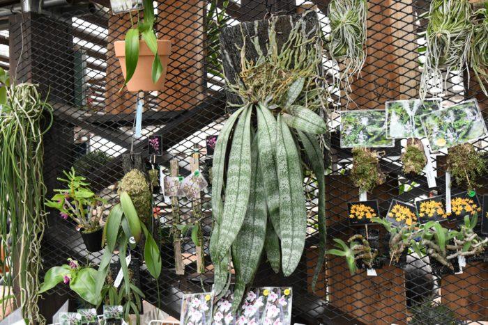 「はちのへ洋蘭園」は青森県に本拠地を置くラン園ながら、関東近県や日本各地のみならず、インドネシアやシンガポール、台湾のラン展にも参加するアクティブなラン園。