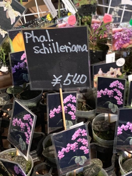ワンコイン(税抜)で買える植物のラインナップも、はちのへ洋蘭園の魅力の一つ。らん展などでは、ビカクシダやフペルジアなどのシダも扱っていましたが、今回も、斑入りの葉が人気の原種コチョウラン、ファレノプシス・シレリアナの子株が店頭に並んでいました。