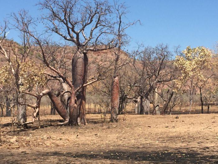 またある程度成木になったバオバブは、ブッシュファイヤーで丸焦げになりながらも、生きていくことができる。