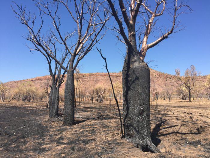 ブッシュファイヤーで樹皮が焼かれ、真っ黒になっているバオバブ。