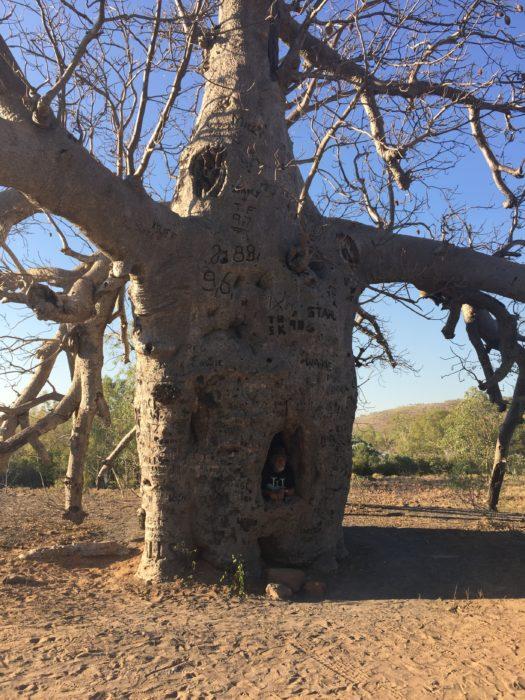 また、樹の中が空洞になっているバオバブ。このように空洞になっても、まだまだ元気に生き続けている。
