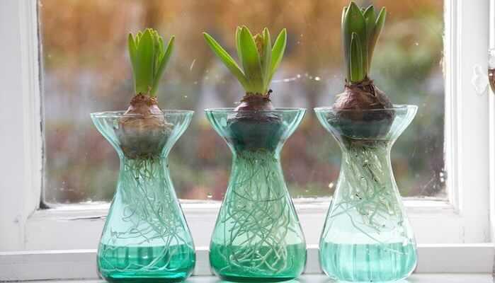 ヒヤシンスは水栽培で育てることができます。水栽培を始めるなら、10~12月ごろです。  球根は水に触れると傷みやすくなるので、根だけが水に浸かるように容器にセットし、暖房が効いていない暗い場所で管理します。  水が腐らないように週1回くらいのペースで容器の水を取り替えてください。2~3週間程度で芽が出てきます。  ヒヤシンスの球根は寒さに当たらないと花が咲きません。球根から芽が出てきたら、寒さに当てるようにしましょう。翌春にはヒヤシンスの可愛い花を楽しめます。
