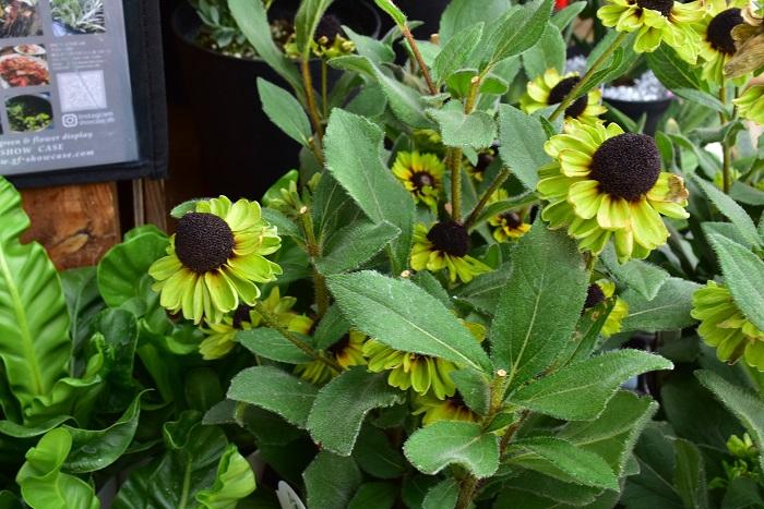 その他にもちょっとめずらしいグリーンのルドベキアの姿もありました。明るいライムカラーが魅力的な花です。