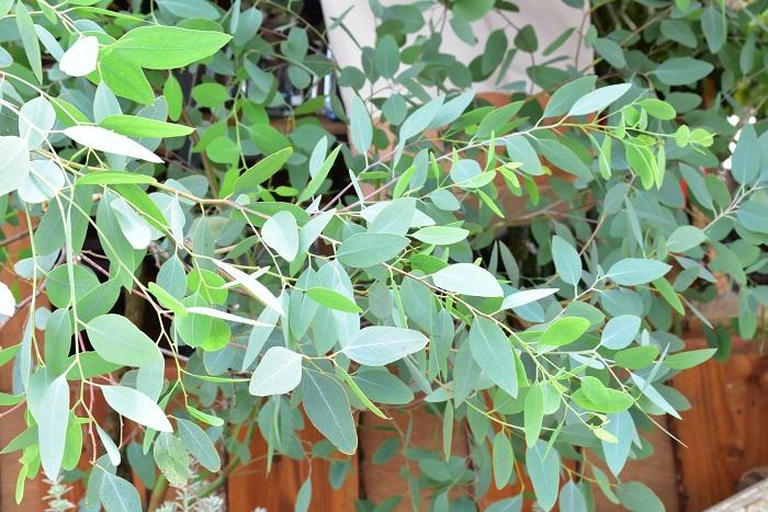 Botanical56さんのおすすめは、葉っぱの華奢さがきれいなユーカリとザミア。他にも部屋にちょこっと置きたい植物がいっぱい並んでいました。