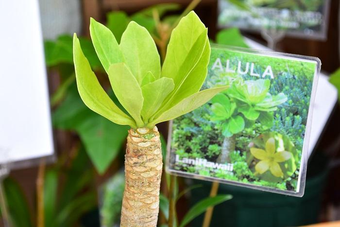 他にもハワイの固有種という珍しい植物がたくさんありました。どれも初めて聞く名前の花ばかりで興味深い品揃えでした。