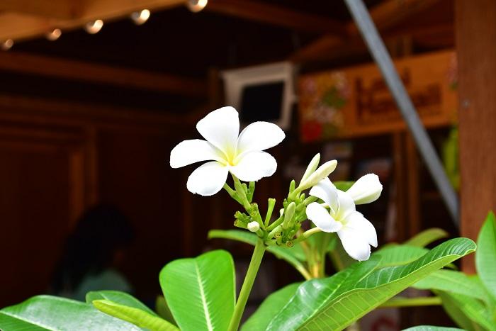 Lani Hawaiiさんのコンセプトはハワイ。今回のおすすめはプルメリアだそうです。プルメリアは冬越しが難しいと言われますが、Lani Hawaiiさんが上手な冬越し方法を説明してくれました。