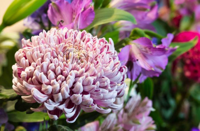 マムとはキクのことを指します。マムは和風のお花と思われがちですが、洋ギクと呼ばれるマムがあるように今ではウェディングでは人気になりつつある花です。大ぶりでカールした花弁が密に重なった品種で、ダリアと見間違えるほど豪華なものもあります。淡いピンクやアプリコット、茶色などの魅力的な花色を豊富に揃えこれまでの和風の花のイメージを一新します。