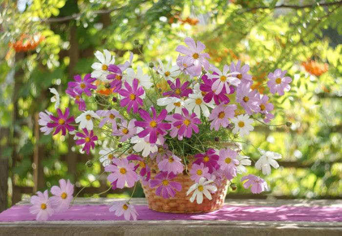 秋の桜と書いてコスモス、その名の通り秋だけにしか使えない花材です。軽やかな茎と透け感のある花弁は可憐な花嫁にピッタリ!コスモスだけを贅沢に束ねても良いですし、いろんな花で作るブーケのアクセントとして入れてあげるのも可愛いです。切り花のコスモスも品種が充実していて、八重の花弁やアプリコットの色味なども人気が出ています。ゆらゆらと揺れる動きを生かせば、バージンロードを歩く姿も一段と優雅に魅せてくれます。