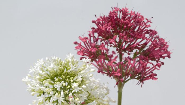 同じオミナエシ科の植物で和名を紅カノコソウと言います。別名レッドバレリアンと呼ばれる香りのある花で、ハーブの仲間です。オミナエシのように小さな小花が集合して咲きます。
